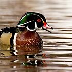 Wood Duck (Aix sponsa) by Jeff Weymier