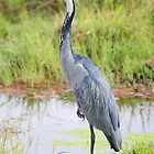 Black-headed Heron, Kenya  by Carole-Anne