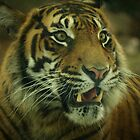 Tiger by Jon Staniland