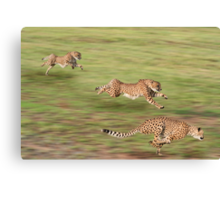 Cheetah shot on a timed run in South Africa Canvas Print