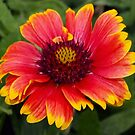 Gloriosa daisy-blanket flower by ♥⊱ B. Randi Bailey