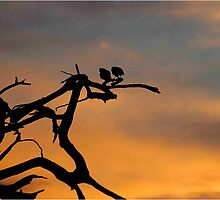 LOVE IS IN THE AIR? - Sunset with 2 doves ! by Magaret Meintjes