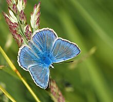Blue Butterfly Northumberland by Roger Hall