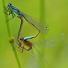 Blue Damsel by Roger Hall