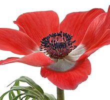 Red Anemone On White by Ann Garrett