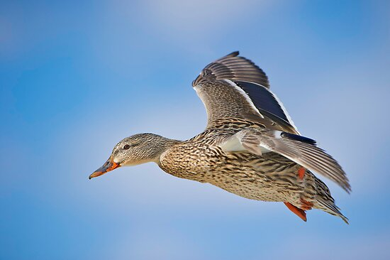 Flight of the Female Mallard by Daniel  Parent