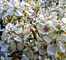 Bradford Pear Tree Blooms by barnsis