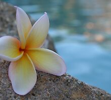 Frangipani by Pool by VickieP