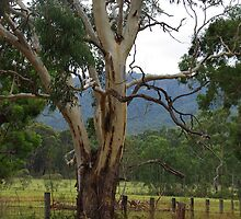 Gum tree Megalong Valley NSW by Alison Murphy