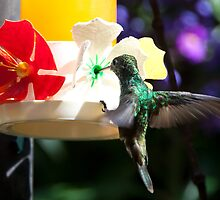 Hummingbird by Carol Bock
