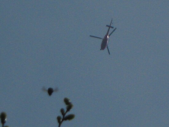 Lucky snap of humble bumble whilst taking photo of 3 bladed helicopter. by jams