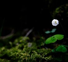 Wood Sorrel by PaulBradley