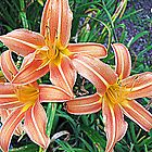 Orange Lilies in a Vermont Garden by kflanary
