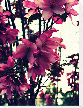 Pink Blooms - Spring in New England by kflanary