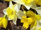 Rock Garden Yellow Daffodil Flowers art Baslee Troutman by BasleeArtPrints