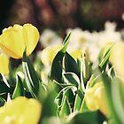 Riverbanks Botanical Garden - Springtime Tulips by emmacolleen