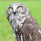 Looking Up - barking owl by Jenny Dean