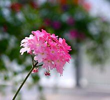 Small ode to spring joy - Verbena by Severinka