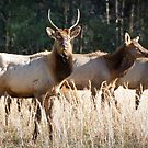 Cataloochee Elk - Great Smoky Mountains Wildlife Photography by Dave Allen
