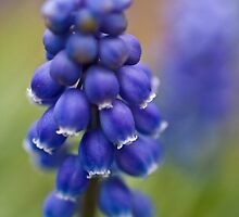 Grape Hyacinth by LauraZim