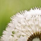Dandelion Dew by LauraZim