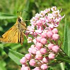 skipper on mildweed by SusieG