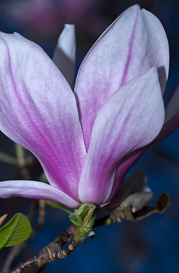 Saucer Magnolia Blossoms  by Dania Reichmuth