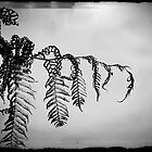 The fern's slow death in B&W by fourthangel
