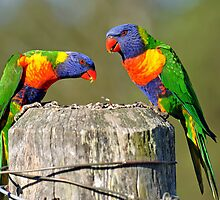Rainbow Lorikeets in our yard. Brisbane, Queensland, Australia. by Ralph de Zilva
