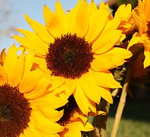 Sunflowers at Sunset 2 by canaryphotos