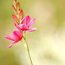 Pink flower by Csar Torres