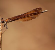 Dragonfly by César Torres