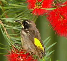 New holland honey eater by bobby1