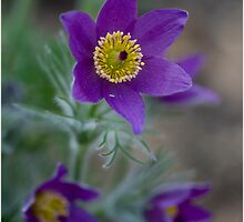 Pasque Flower 1 by J-images