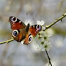 Peacock Butterfly by charliefoxtrott