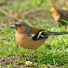 Chaffinch by Roger Hall