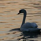 Strength and beauty - Swan on the Cam by zoemancroft
