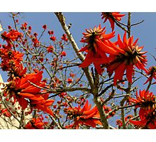 Red Blossomed Tree Photographic Print