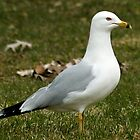 Ring-billed Gull April 9, 2011 by Robin Clifton