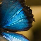Blue Morpho Butterfly Wing by Tracy Riddell