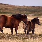 Brumbies by cherryw