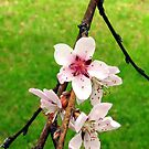 Peach Blossoms by Steve391