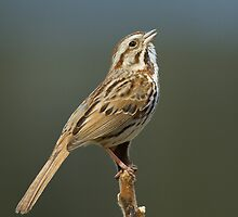 Song Sparrow belting it out by Wayne Wood