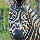 Zebra up close by jozi1