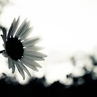 Flower in the sun- black and white by xtalline