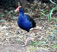Purple Swamp Pea Hen by Bevlea Ross