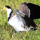 masked lapwing by paulinea