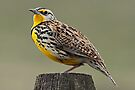 Meadowlark #6301 by Rodney55