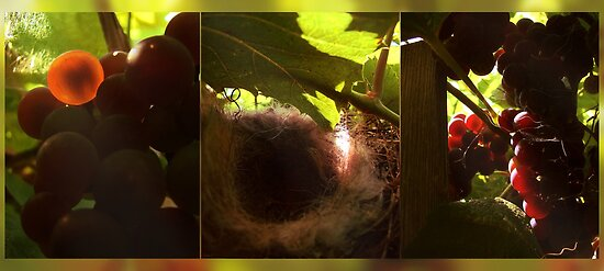 Nest in a vineyard by VallaV