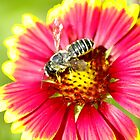 flowering bee by rljphotography